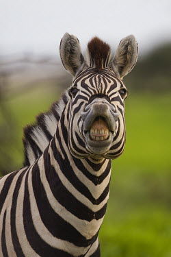 A plains zebra bearing its teeth and gums at the camera striped,stripes,herbivores,herbivore,vertebrate,mammal,mammals,terrestrial,Africa,African,savanna,savannah,safari,zebra,wild horse,horse,horses,equid,equine,shallow focus,looking at camera,teeth,mouth