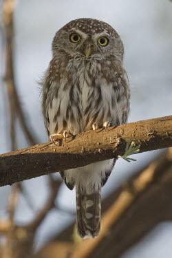 Pearl-spotted owlet perching in a tree owl,owls,bird of prey,birds of prey,predator,talons,carnivore,hunter,spotted owl,cute,looking at camera,shallow focus,perching,perched,perch,Pearl-spotted owlet,Glaucidium perlatum,Owls,Strigiformes,T