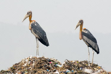 Greater adjutant on top of a mound of waste and pollution bird,birds,adjutant,long legs,trash,waste,rubbish,dump,tip,pollution,landfill,human impact,environment,damage,plastics,negative space,stork,storks,Greater adjutant,Leptoptilos dubius,Ciconiiformes,Her