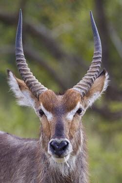 Portrait of a waterbuck antelope,antelopes,herbivores,herbivore,vertebrate,mammal,mammals,terrestrial,ungulate,horns,horn,Africa,African,horn horns,profile,portrait,face,close up,shallow focus,Waterbuck,Kobus ellipsiprymnus,