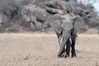 African elephant walking across grassland mastodon,mastodons,mammoth,mammoths,elephant,elephants,trunk,trunks,herbivores,herbivore,vertebrate,mammal,mammals,terrestrial,Africa,African,savanna,savannah,safari,African elephant,Loxodonta african