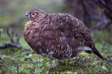 Close up of a male red grouse game,game bird,bird,birds,wildfowl,close up,shallow focus,grey,plumage,fowl,grouse,feathers,fluffy,pattern,patterned,male,Red grouse,Lagopus lagopus,Chordates,Chordata,Gallinaeous Birds,Galliformes,Av