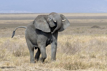African elephant marching across the plain mastodon,mastodons,mammoth,mammoths,elephant,elephants,trunk,trunks,herbivores,herbivore,vertebrate,mammal,mammals,terrestrial,Africa,African,savanna,savannah,safari,ears,African elephant,Loxodonta af