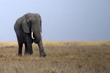 African elephant crossing the plain mastodon,mastodons,mammoth,mammoths,elephant,elephants,trunk,trunks,herbivores,herbivore,vertebrate,mammal,mammals,terrestrial,Africa,African,savanna,savannah,safari,African elephant,Loxodonta african