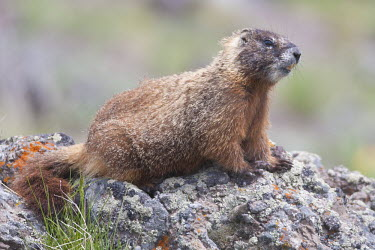 Yellow-bellied marmot on a rock Yellow-bellied marmot,Animalia,Chordata,Mammalia,Rodentia,Sciuridae,Marmota flaviventris,close up,rodent,rock chuck,ground squirrel,teeth,furry,fur,marmot,marmots