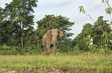 A lone Asian elephant in the Mechi forest, West Bengal elephant,elephants,trunk,trunks,herbivores,herbivore,vertebrate,mammal,mammals,terrestrial,forest,forests,tusks,tusk,tusker,Asian elephant,Elephas maximus,Mammalia,Mammals,Elephants,Elephantidae,Chord