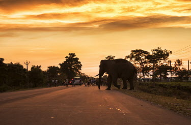 An elephant crossing a highway at dusk, West Bengal elephant,elephants,trunk,trunks,herbivores,herbivore,vertebrate,mammal,mammals,terrestrial,dusk,sky,sunset,lighting,orange,silhouette,road,migratory,path,conflict,humans,people,development,Asian eleph