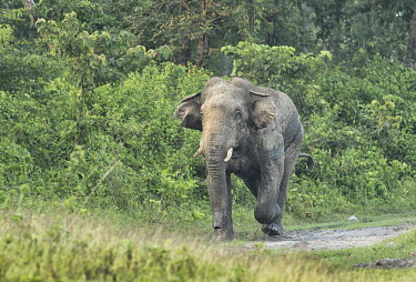 An Asian elephant charging out of a forest reserve in West Bengal elephant,elephants,trunk,trunks,herbivores,herbivore,vertebrate,mammal,mammals,terrestrial,running,run,charge,charging,path,road,forest,Asian elephant,Elephas maximus,Mammalia,Mammals,Elephants,Elepha