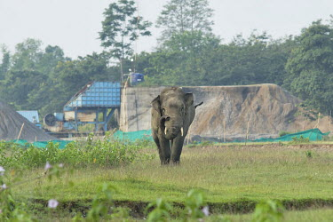 An illegal industrial development blocking an elephant migration path elephant,elephants,trunk,trunks,herbivores,herbivore,vertebrate,mammal,mammals,terrestrial,forest,industry,development,farm,farmland,crops,migratory,path,migration,conflict,people,humans,Asian elephan