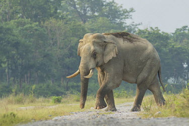 A lone Asian elephant in the Baikunthapur forest, West Bengal elephant,elephants,trunk,trunks,herbivores,herbivore,vertebrate,mammal,mammals,terrestrial,forest,forests,tusks,tusk,walking,locomotion,Asian elephant,Elephas maximus,Mammalia,Mammals,Elephants,Elepha