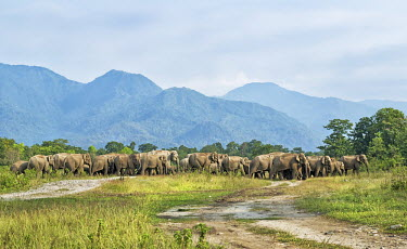 Elephant herd in the Mechi forest, West Bengal elephant,elephants,trunk,trunks,herbivores,herbivore,vertebrate,mammal,mammals,terrestrial,herd,family,unit,march,forest,migratory,migration,landscape,scenery,scenic,Asian elephant,Elephas maximus,Mam