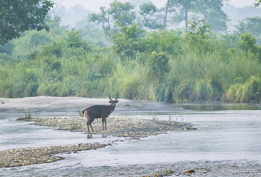Sambar deer by a river flowing through Jaldapara national park, India herbivores,herbivore,vertebrate,mammal,mammals,terrestrial,ungulate,deer,deers,ruminant,river,stream,water,forest,habitat,landscape,scenery,scenic,Sambar deer,Rusa unicolor,Cervidae,Deer,Chordates,Cho