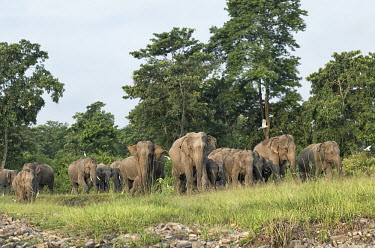 Elephant herd in the Mechi forest, West Bengal elephant,elephants,trunk,trunks,herbivores,herbivore,vertebrate,mammal,mammals,terrestrial,herd,family,unit,march,forest,migratory,migration,Asian elephant,Elephas maximus,Mammalia,Mammals,Elephants,E