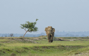 A lone Asian elephant crossing a dried out river bed, West Bengal elephant,elephants,trunk,trunks,herbivores,herbivore,vertebrate,mammal,mammals,terrestrial,march,forest,migratory,migration,tusk,tusker,Asian elephant,Elephas maximus,Mammalia,Mammals,Elephants,Elepha