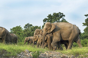 Elephant herd in the Kolabari forest elephant,elephants,trunk,trunks,herbivores,herbivore,vertebrate,mammal,mammals,terrestrial,herd,family,unit,march,forest,migratory,migration,Asian elephant,Elephas maximus,Mammalia,Mammals,Elephants,E