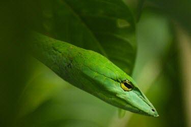 Close up of a green vine snake Green vine snake,vine snake,green,Animalia,Chordata,Reptilia,Squamata,Serpentes,Colubridae,Ahaetulla,Ahaetulla nasuta,macro,close up,face,portrait,shallow focus,green background,camouflage,snake,snake