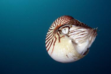 Nautilus Animalia,Mollusca,Cephalopoda,Nautilida,Nautilidae,Nautilus,Nautilus belauensis,Palau nautilus,mollusc,water,underwater,aquatic,marine,marine life,sea,sea life,ocean,oceans,sea creature,close up,blue
