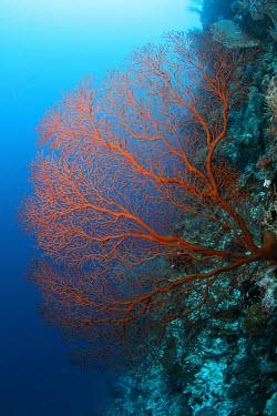 Red gorgonian sea fan Animalia,Cnidaria,Anthozoa,Octocorallia,Alcyonacea,coral,corals,coral reef,reef,invertebrate,invertebrates,marine invertebrate,marine invertebrates,marine,marine life,sea,sea life,ocean,oceans,water,u