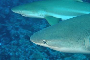 Grey reef shark cruising the reef shark,sharks,elasmobranch,elasmobranchs,elasmobranchii,predator,marine,marine life,sea,sea life,ocean,oceans,water,underwater,aquatic,sea creature,close up,reef shark,reef sharks,hunting,cruising,blue
