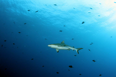 Grey reef shark surrounded by redtoothed triggerfish shark,sharks,elasmobranch,elasmobranchs,elasmobranchii,predator,marine,marine life,sea,sea life,ocean,oceans,water,underwater,aquatic,sea creature,reef shark,reef sharks,hunting,cruising,blue backgrou