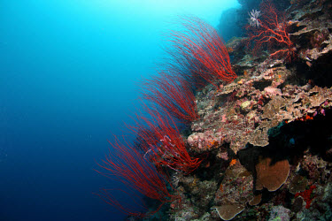 Red whip coral coral,corals,coral reef,reef,invertebrate,invertebrates,marine invertebrate,marine invertebrates,marine,marine life,sea,sea life,ocean,oceans,water,underwater,aquatic,sea creature,red,whip coral,red w
