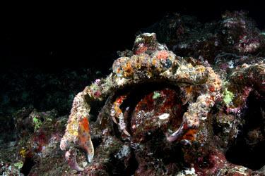 Decorator crab covered in algae crab,crabs,crustacean,crustaceans,exoskeleton,claw,claws,reef,reef life,Animalia,Arthropoda,Crustacea,Decapodea,Majoidea,marine,marine life,sea,sea life,ocean,oceans,water,underwater,aquatic,sea creat