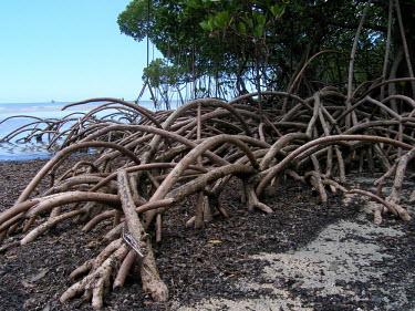 Mangrove roots shallows,ecosystem,environment,habitat,nursery,tropical,coastal,coast,plant,plants,plantlife,plantae,flora,marine,mangrove,mangroves,prop roots,roots,shallow sea,shallow seas,Mangrove