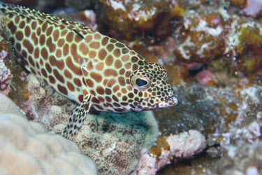 A honeycomb grouper resting on coral Animalia,Chordata,Actinopterygii,Perciformes,Serranidae,Epinephelidae,Epinephelus merra,Honeycomb Grouper,Dwarf-spotted Grouper,Honeycomb Cod,Honeycomb Rock Cod,Wire-netted Reef cod,Wire-netting Cod,h