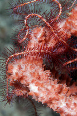 Brittle star wrapping itself around a sponge echinoderms,echinoderm,marine invertebrate,marine invertebrates,sea creature,sea life,invertebrate,invertebrates,water,underwater,aquatic,marine,marine life,sea,ocean,oceans,brittlestar,brittle star,s