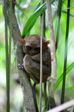 A sleepy eyed tarsier mammal,mammals,vertebrate,vertebrates,terrestrial,fur,furry,tarsier,arboreal,cute,big eyes,primate,primates,tarsiers,shallow focus,sleepy,grumpy,tired,Philippine tarsier,Tarsius syrichta,Primates,Mamm