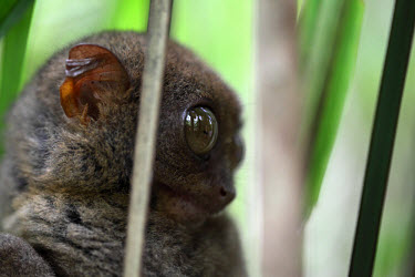 A Philippines tarsier in a tree mammal,mammals,vertebrate,vertebrates,terrestrial,fur,furry,tarsier,arboreal,cute,big eyes,primate,primates,tarsiers,close up,Philippine tarsier,Tarsius syrichta,Primates,Mammalia,Mammals,Chordates,Ch