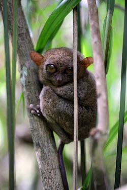 A Philippines tarsier in a tree mammal,mammals,vertebrate,vertebrates,terrestrial,fur,furry,tarsier,arboreal,cute,big eyes,primate,primates,tarsiers,shallow focus,Philippine tarsier,Tarsius syrichta,Primates,Mammalia,Mammals,Chordat