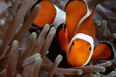 Clownfish n its anemone home clownfish,clown fish,orange,colourful,macro,close up,anemone,fish,anemone fish,marine,marine life,sea,sea life,ocean,oceans,water,underwater,aquatic,invertebrate,invertebrates,marine invertebrate,mari