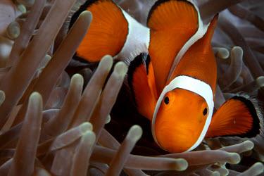 Clownfish n its anemone home clownfish,clown fish,orange,colourful,macro,close up,anemone,fish,anemone fish,marine,marine life,sea,sea life,ocean,oceans,water,underwater,aquatic,invertebrate,invertebrates,marine invertebrate,mari