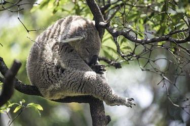 Koala asleep in a tree mammal,mammals,vertebrate,vertebrates,arboreal,Australia,Australian,marsupial,marsupials,endemic,koalas,sleeping,asleep,snooze,nap time,tree,canopy,cute,furry,shallow focus,Koala,Phascolarctos cinereu