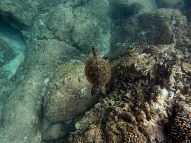 A green turtle swimming over a rocky patch of reef sea turtle,sea turtles,turtle,turtles,shell,reptile,reptiles,marine,marine life,sea,sea life,ocean,oceans,water,underwater,aquatic,sea creature,swimming,cruising,swim,carapace,reef,tropical,fish,butte