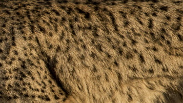 Lynx pelt pelt,fur,pattern,coat,cat,cats,feline,felidae,predator,carnivore,lynx,big cat,big cats,wild cat