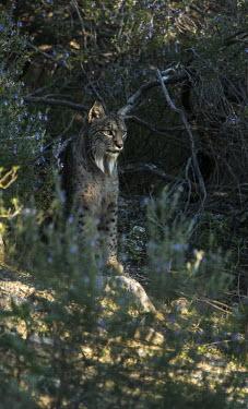 An Iberian lynx looking out from rosemary scrub cat,cats,feline,felidae,predator,carnivore,Iberian lynx,lynx,forest,woodland,big cat,big cats,wild cat,Lynx pardinus,Mammalia,Mammals,Chordates,Chordata,Carnivores,Carnivora,Felidae,Cats,Lynx d'Espagn
