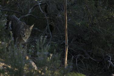 An Iberian lynx walking through rosemary scrub cat,cats,feline,felidae,predator,carnivore,Iberian lynx,lynx,forest,woodland,big cat,big cats,wild cat,Lynx pardinus,Mammalia,Mammals,Chordates,Chordata,Carnivores,Carnivora,Felidae,Cats,Lynx d'Espagn