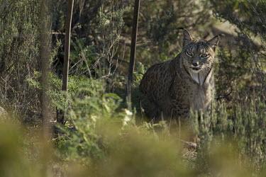 An Iberian lynx sitting in the scrub cat,cats,feline,felidae,predator,carnivore,Iberian lynx,lynx,forest,woodland,big cat,big cats,wild cat,Lynx pardinus,Mammalia,Mammals,Chordates,Chordata,Carnivores,Carnivora,Felidae,Cats,Lynx d'Espagn