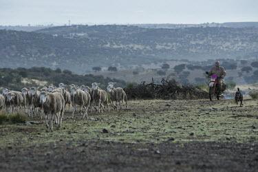 Sheep farming in areas where the lynx exists are conflict free sheep farm,sheep,farm,farming,agriculture,industry,land use,food,humans,human impact,habitat,diversity,grazers,grazing,herbivores,herbivore,farmer,herd,herding