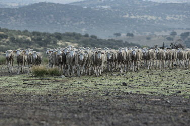 Sheep farming in areas where the lynx exists are conflict free herd,sheep farm,sheep,farm,farming,agriculture,industry,land use,food,habitat,diversity,grazers,grazing,herbivores,herbivore