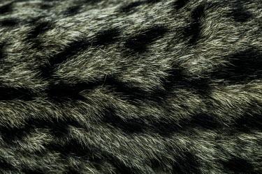 Fur of an Iberian lynx cub lynx,Iberian lynx,fur,pelt,coat,hair,macro,close up,Lynx pardinus,Mammalia,Mammals,Chordates,Chordata,Carnivores,Carnivora,Felidae,Cats,Lynx d'Espagne,Lynx pardelle,Lince Ib�rico,Animalia,Lynx,Broadle