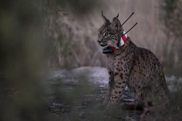 Iberian lynx resting after being released back into the wild wearing a radio-collar lynx,Iberian lynx,collared,release,project,catch and release,monitor,monitoring,conservation,cat,cats,feline,felidae,predator,carnivore,big cat,big cats,wild cat,Lynx pardinus,Mammalia,Mammals,Chordat