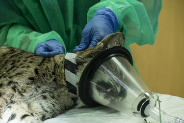 Test collar being placed around a young lynx cubs neck researcher,research,vet,vets,vet nary,conservation,lynx,Iberian lynx,humans,people,medical,care,health check,project,captive breeding,anaesthetic,doctors,doctor,Lynx pardinus,Mammalia,Mammals,Chordate