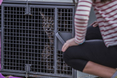 A 2 year old female lynx named waiting inside a release cage lynx,Iberian lynx,trapped,captured,collared,release,cage,project,catch and release,monitor,monitoring,conservation,cat,big cat,wild cat,Lynx pardinus,Mammalia,Mammals,Chordates,Chordata,Carnivores,Car