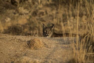Iberian lynx in morning light cat,cats,feline,felidae,predator,carnivore,lynx,big cat,big cats,wild cat,Iberian lynx,Lynx pardinus,Mammalia,Mammals,Chordates,Chordata,Carnivores,Carnivora,Felidae,Cats,Lynx d'Espagne,Lynx pardelle,