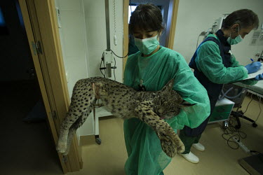 Head vet carrying a young Iberian lynx back to its cage to come round from its anaesthetic researcher,research,vet,vets,vet nary,conservation,lynx,Iberian lynx,humans,people,medical,care,health check,project,captive breeding,doctors,doctor,Lynx pardinus,Mammalia,Mammals,Chordates,Chordata,C