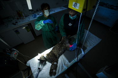 A lynx is prepared for an x-ray researcher,research,vet,vets,vet nary,conservation,lynx,Iberian lynx,humans,people,medical,care,health check,project,captive breeding,x-ray,doctors,doctor,Lynx pardinus,Mammalia,Mammals,Chordates,Chor