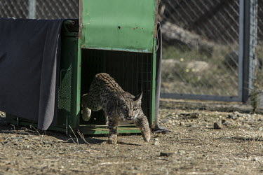 An Iberian lynx cub being released into its enclosure lynx,Iberian lynx,trapped,captured,collared,release,cage,project,catch and release,monitor,monitoring,conservation,cat,big cat,wild cat,cub,Lynx pardinus,Mammalia,Mammals,Chordates,Chordata,Carnivores